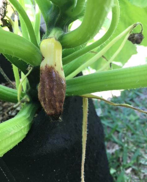 squash blossom end rot