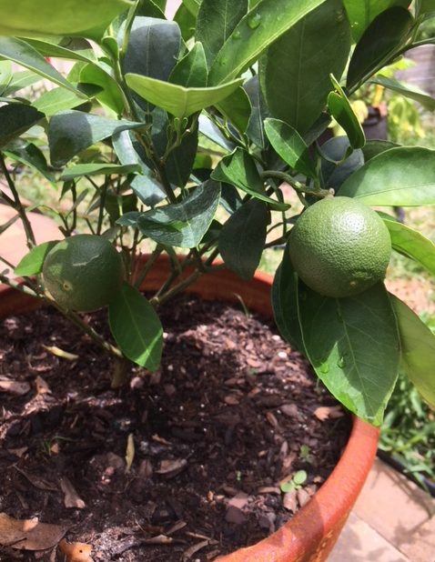 navel oranges growing