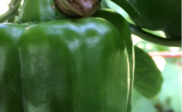tree frog pepper plant