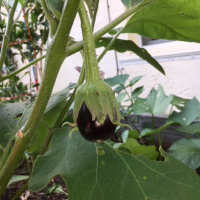Update on Growing Eggplants That Survive Year Round