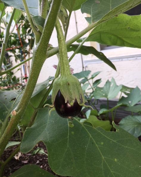 little eggplant