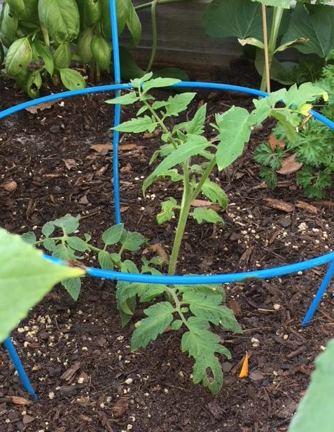 propagating tomato plant