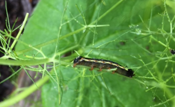 Cutworm eating fennel