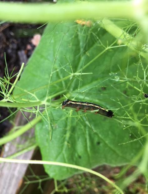 Cutworm eating fennel