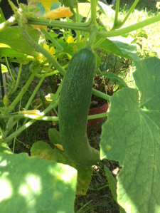 Cucumber on the vine