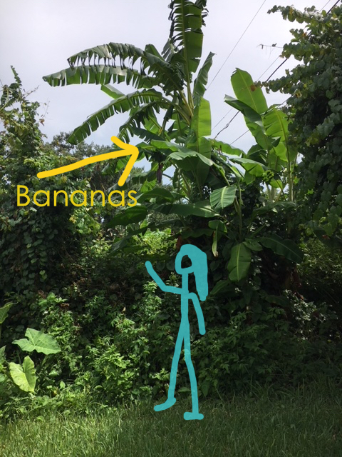 banana tree height