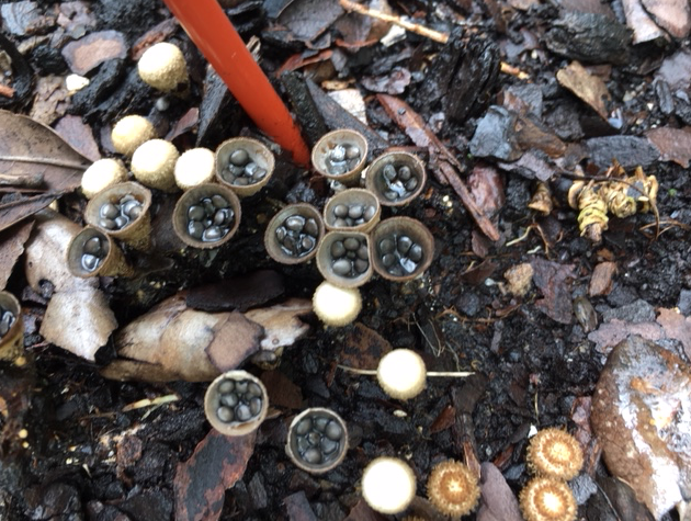 birds nest mushroom