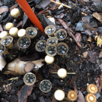 The Bird's Nest Mushroom