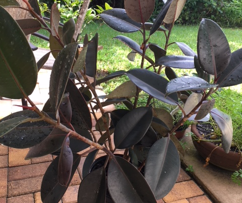 Rubber tree in need of pruning