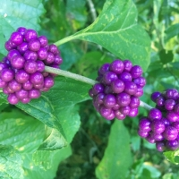 Clusters of Purple Berries on The Beautyberry Bush