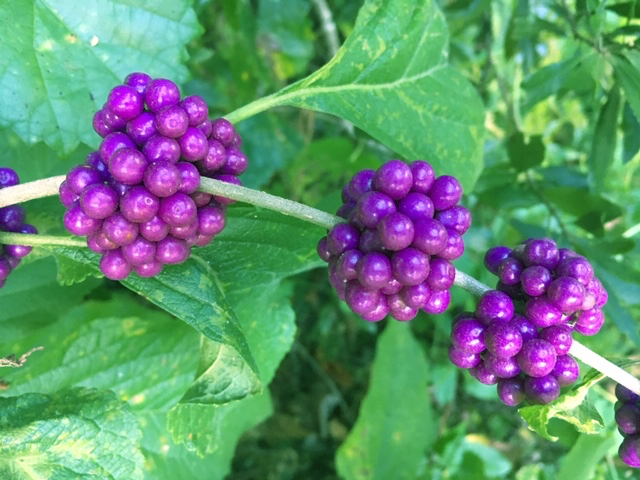 purple beauty berry