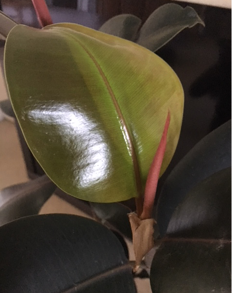 new leaf rubber tree