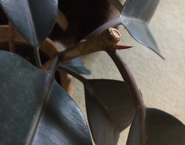 new growth rubber tree