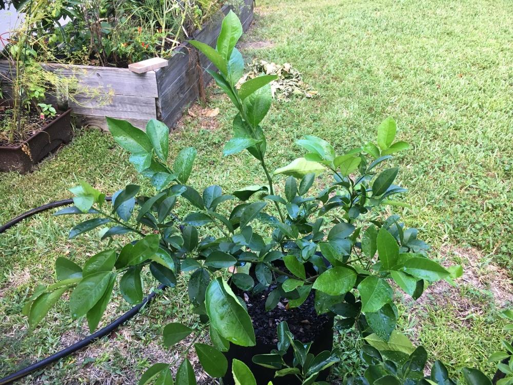 lemon tree greenery