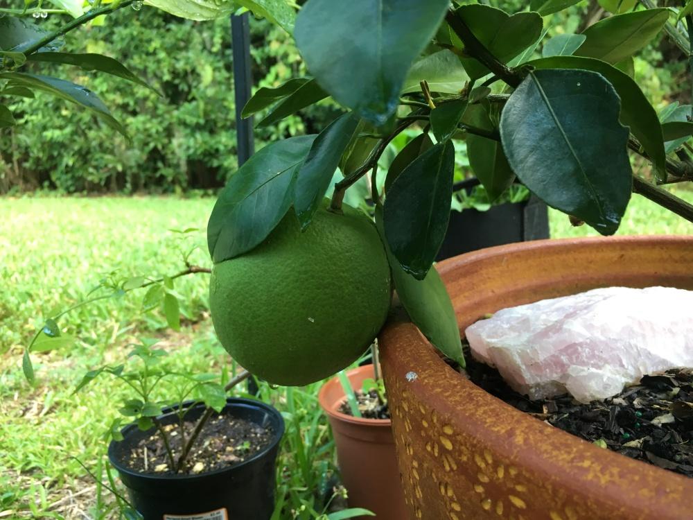 Orange growing on tree