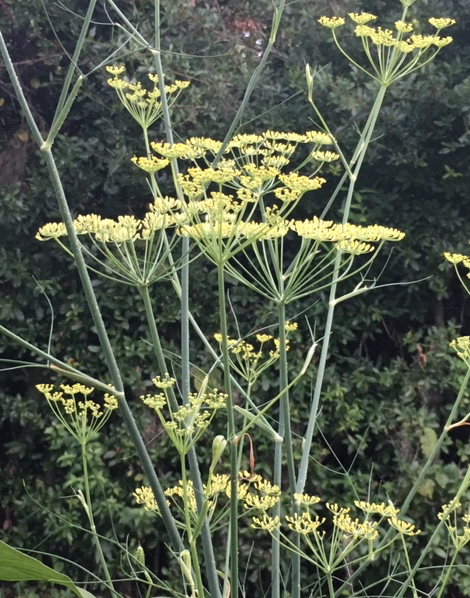 fennel flowers