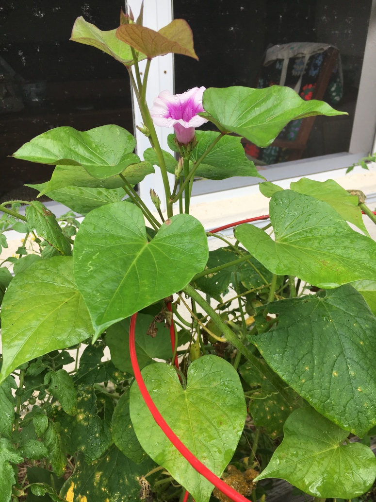 sweet potato flower on vine