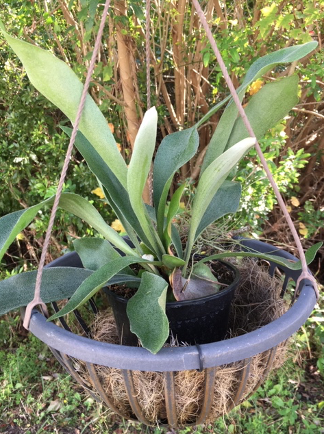 Staghorn fern