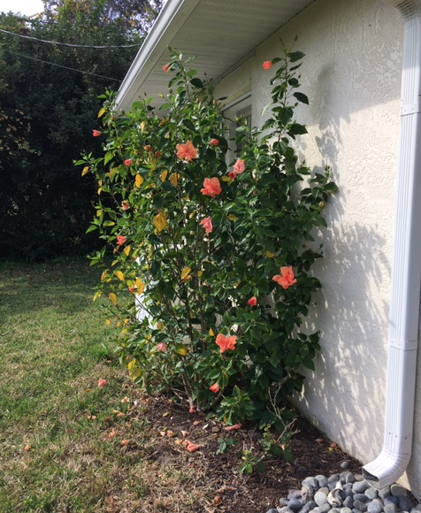 Orange hibiscus plant reaching the rooftop