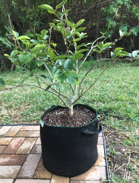 Lime tree in fabric pot
