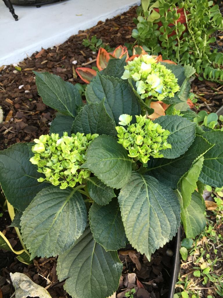 green flower buds hydrangea