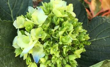 Florida hydrangea flower