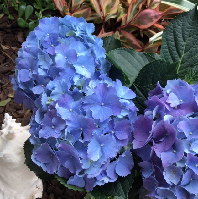Blue hydrangea flowers on small greenhouse plant