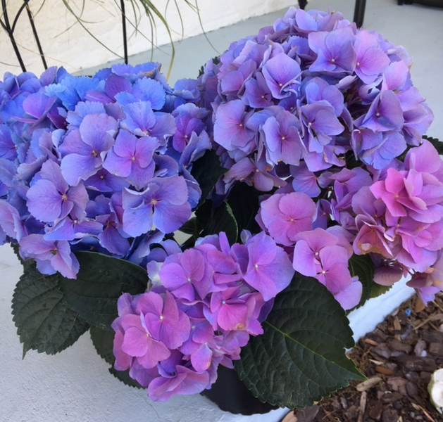 Blue, purple and pink hydrangea flowers on one plant.