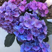 Greenhouse Hydrangea With Blue Flowers Forming