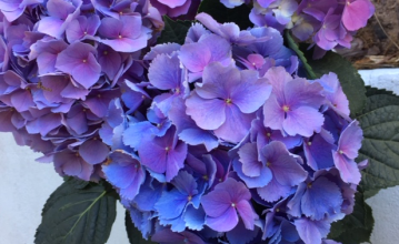 Potted hydrangea blue pink