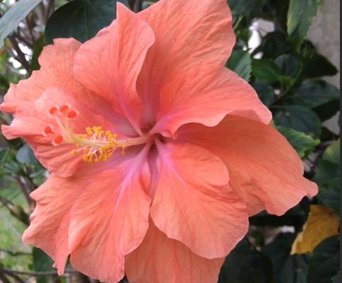 double orangea hibiscus