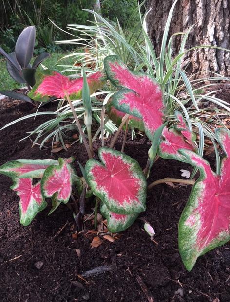 pink caladiums