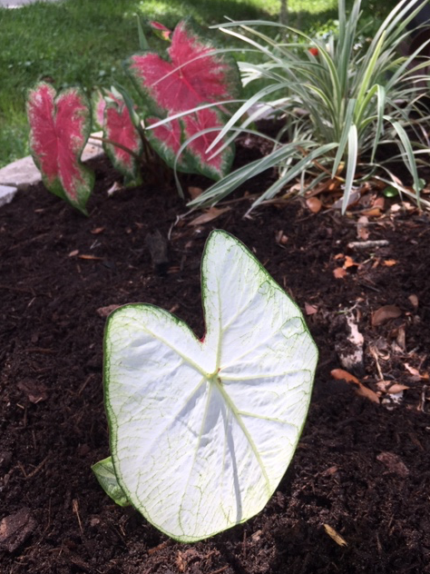 white leaves caladium