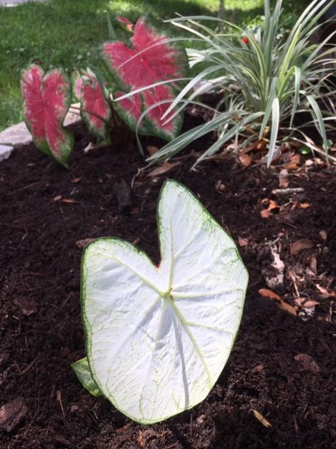 white leaves caladium