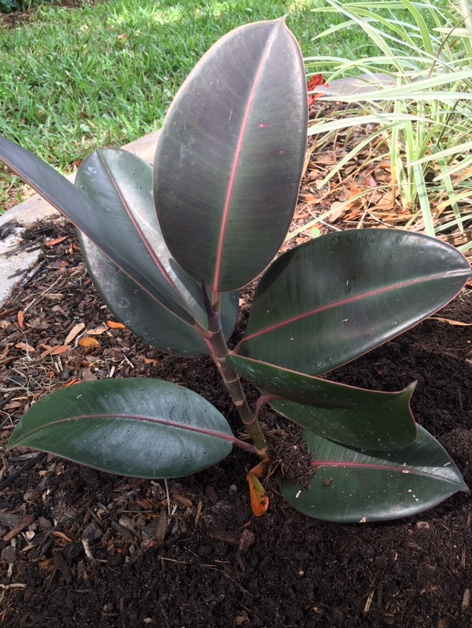 Rubber tree growing outside in my Florida yard