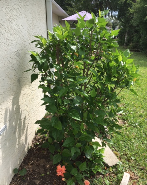May hibiscus filling out with leaves and buds after a trim