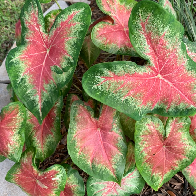 red leafed caladiums