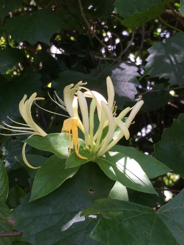 Florida invasive species Japanese Honeysuckle