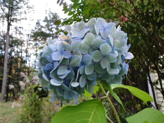 faded blue hydrangea on plant