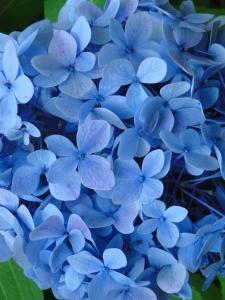 Beautiful blue hydrangea flower up close