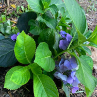 Update on Garden Hydrangea, Surviving Summer