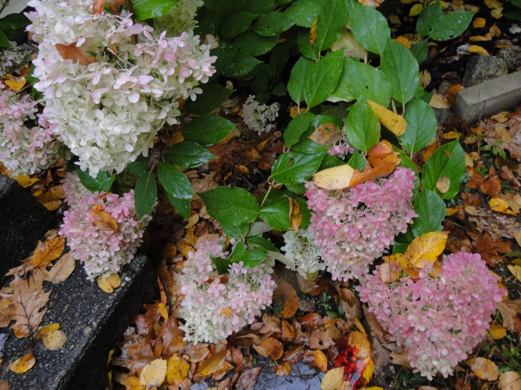 Limelight hydrangeas after rain weighed down the flower heads in fall