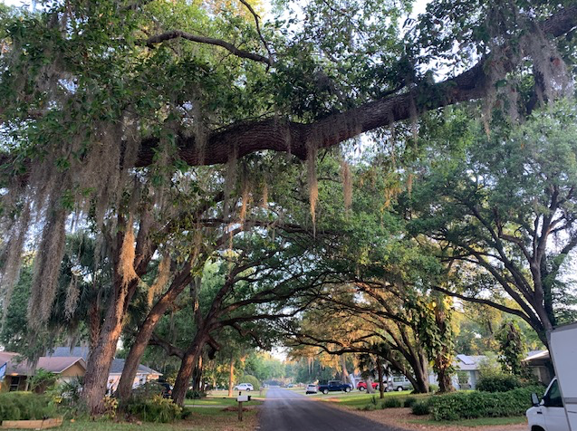 Florida oaks with moss branching over a road