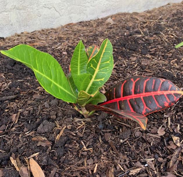 New croton plant