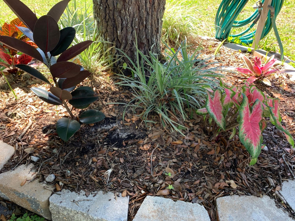 Garden around a tree with pink caladium, rubber plant, croton and grass.