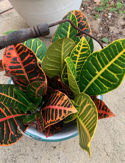 Croton cuttings