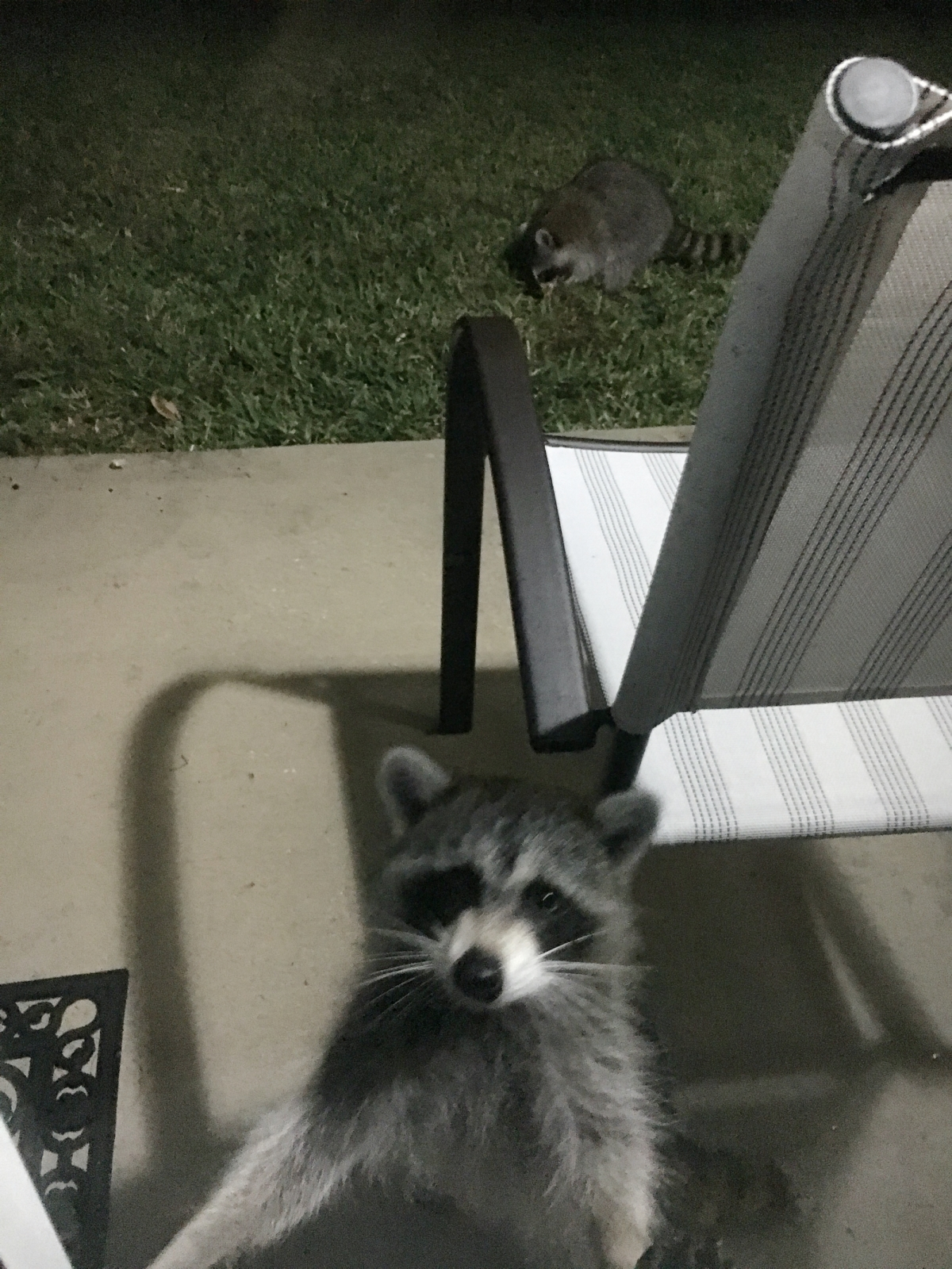 raccoons at the door