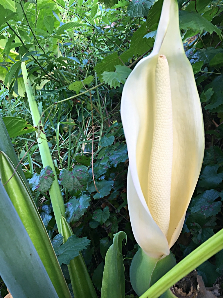 flower of the elephant ear plant