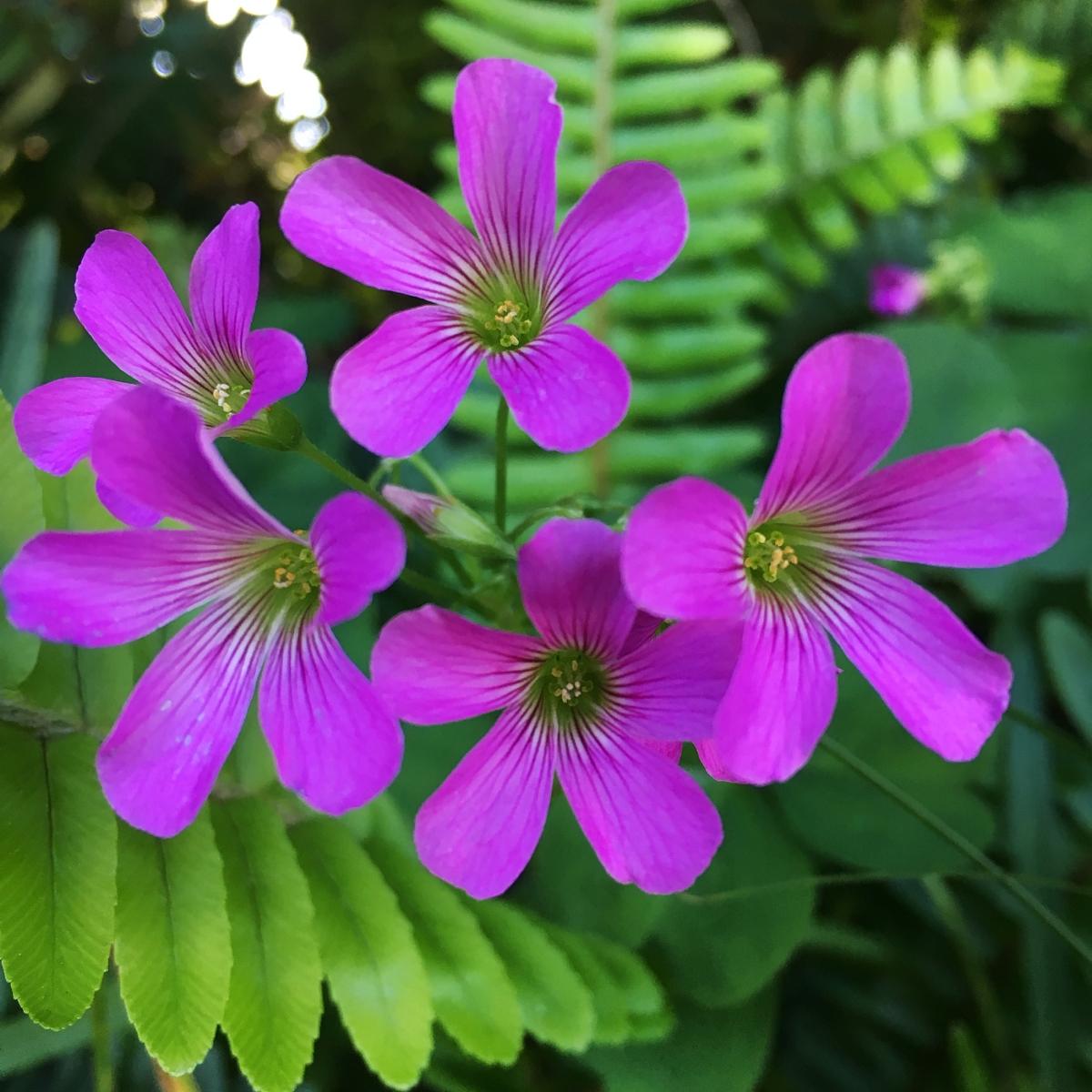 clover flowers pink wood sorrel