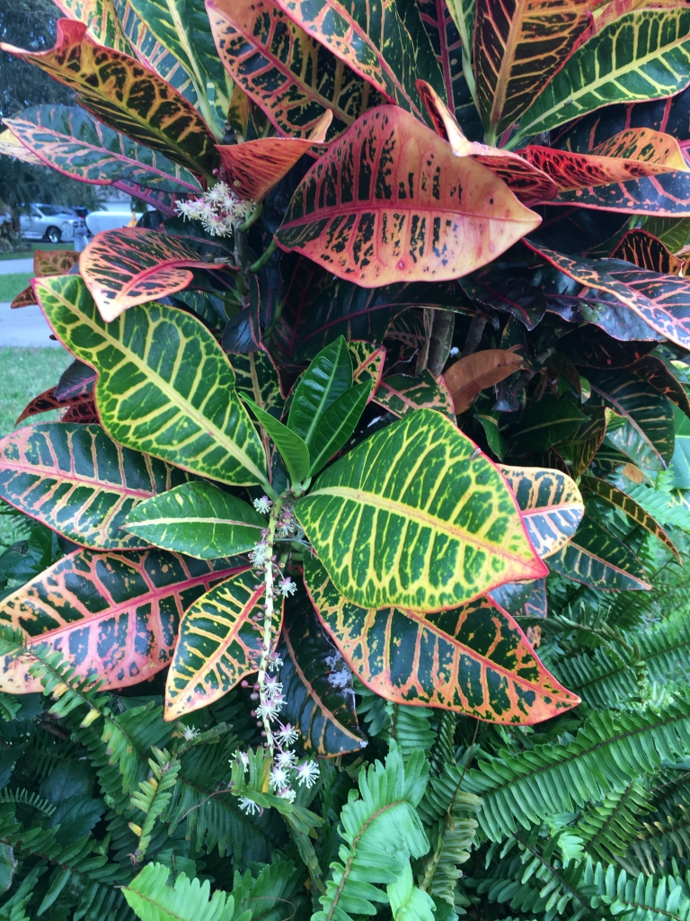 Colorful croton plant with flowers